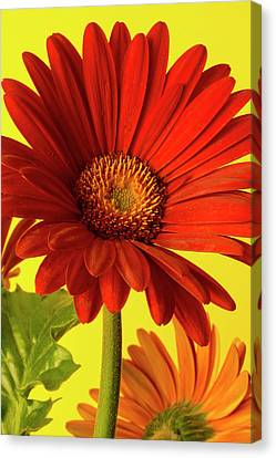 Red Gerbera Daisy 2 Canvas Print by Richard Rizzo