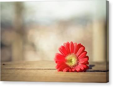 Red Gerbera Daisy Canvas Print by Daniela Romanesi