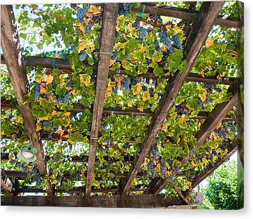 Bunch Of Grapes Canvas Print - Red Grapes Hanging From A Trellis Napa Valley California by George Oze