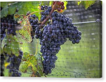 Red Grapes  Canvas Print by Steve Gravano