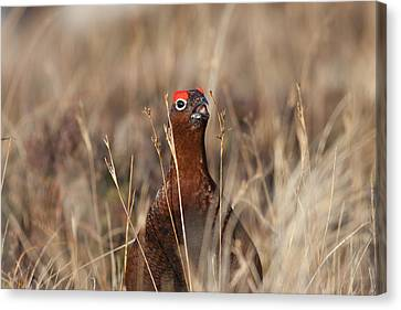 Red Grouse Calling Canvas Print
