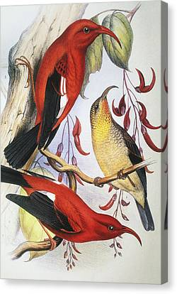 Red Hawaiian Honeycreeper Canvas Print