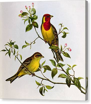 Red Headed Bunting Canvas Print