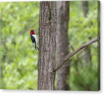 Red-headed Woodpecker 2017-1 Canvas Print by Thomas Young