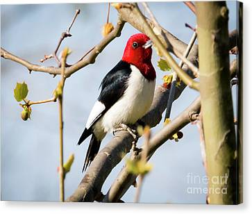 Canvas Print featuring the photograph Red-headed Woodpecker At A Glace  by Ricky L Jones