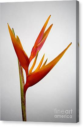 Red Heliconia Canvas Print by Tomas del Amo - Printscapes