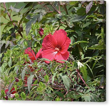 Red Hibiscus 2 Canvas Print by Ruth Housley