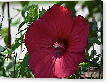 Red Hibiscus 3 Canvas Print by Ruth Housley