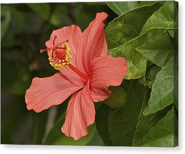 Red Hibiscus Canvas Print by Michael Peychich