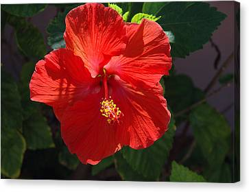 Red Hibiscus Canvas Print by Susanne Van Hulst