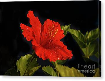 Red Hibiscus With Water Drops Canvas Print by Robert Bales