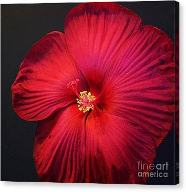 Red Hot Hibiscus Ll Canvas Print