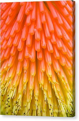 Red Hot Poker Flower Close Up Canvas Print