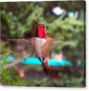 Red Hummingbird Canvas Print by Joseph Frank Baraba