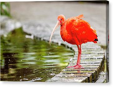 Canvas Print featuring the photograph Red Ibis by Alexey Stiop