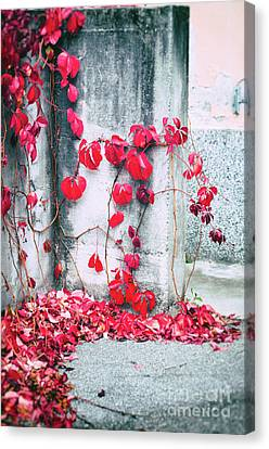 Canvas Print featuring the photograph Red Ivy Leaves by Silvia Ganora
