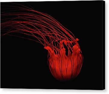 Red Jellyfish Canvas Print by Denise Keegan Frawley