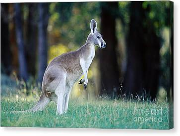 Red Kangaroo Canvas Print by B. G. Thomson