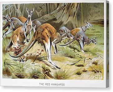 Red Kangaroo Canvas Print by Granger