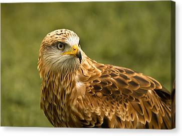 Canvas Print featuring the photograph Red Kite by Scott Carruthers