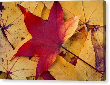 Red Leaf Canvas Print by Chevy Fleet