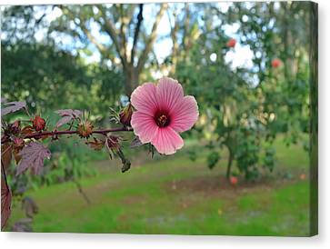 Red Leaf Hibiscus Flower Canvas Print by Aimee L Maher Photography and Art Visit ALMGallerydotcom