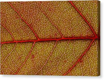 Red Leaf Macro Canvas Print by Frank Tschakert