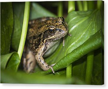Red-legged Frog  On Plant Canvas Print by Robert Potts
