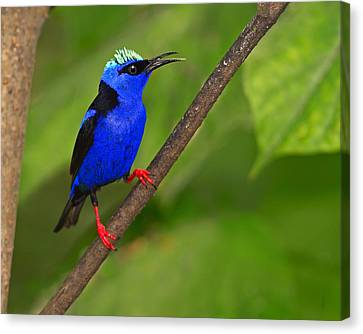 Red-legged Honeycreeper Canvas Print by Tony Beck
