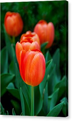 Day Lilly Canvas Print - Red Tulips by Az Jackson