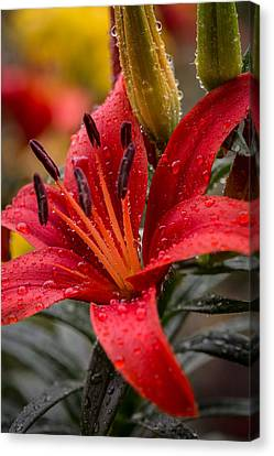 Red Lillium Asiatic Canvas Print by Dale Kincaid
