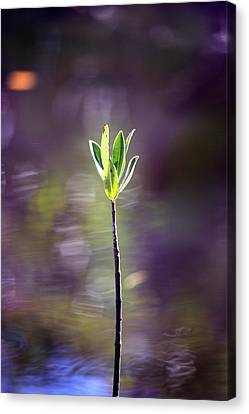 Red Mangrove Canvas Print by Joseph G Holland
