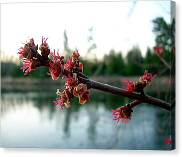 Canvas Print featuring the photograph Red Maple Buds At Dawn by Kent Lorentzen