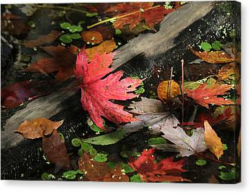 Canvas Print featuring the photograph Red Maple Leaf In Pond by Doris Potter