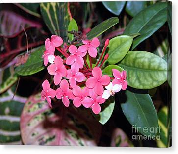 Canvas Print featuring the photograph Red Maui Ixora by Terri Mills