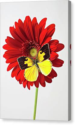 Red Mum With Dogface Butterfly Canvas Print by Garry Gay