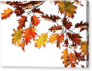 Red Oak Leaves In Fall Canvas Print by Tim Gainey