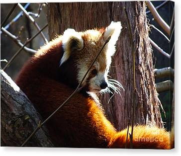 Canvas Print featuring the photograph Red Panda by Angela DeFrias