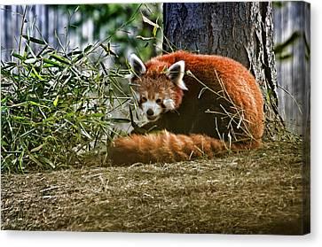 Red Panda Canvas Print by Cheryl Cencich