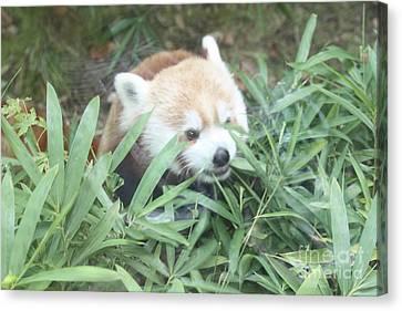 Red Panda Hiding Canvas Print by John Telfer