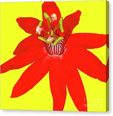 Red Passion Flower Canvas Print by Edita De Lima