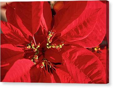 Red Poinsettia Macro Canvas Print by Sally Weigand