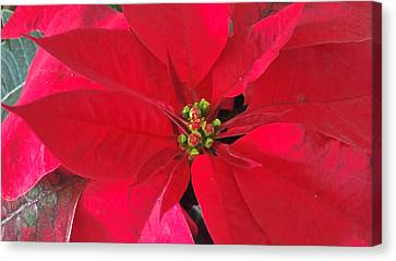 Red Poinsettia Canvas Print