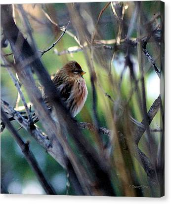 Red Poll, Resting Canvas Print