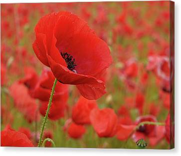 Red Poppies 3 Canvas Print