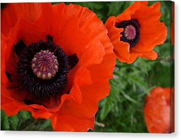 Red Poppies Canvas Print by Lynne Guimond Sabean