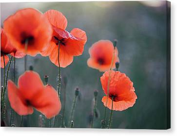 Flower Canvas Print - Red Poppies Remembrance 1 by Jenny Rainbow