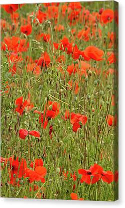Red Poppies Canvas Print by Wayne Molyneux