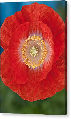Canvas Print featuring the photograph Red Poppy by Robert Harshman