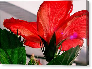 Red Poppy Canvas Print by Robert Knight